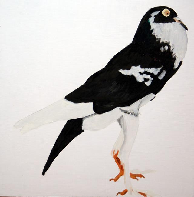 Fancy Pigeon - English Pouter