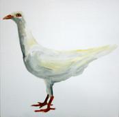 Fancy Pigeon - Danish Tumbler