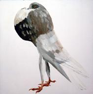 Fancy Pigeon - Cropper