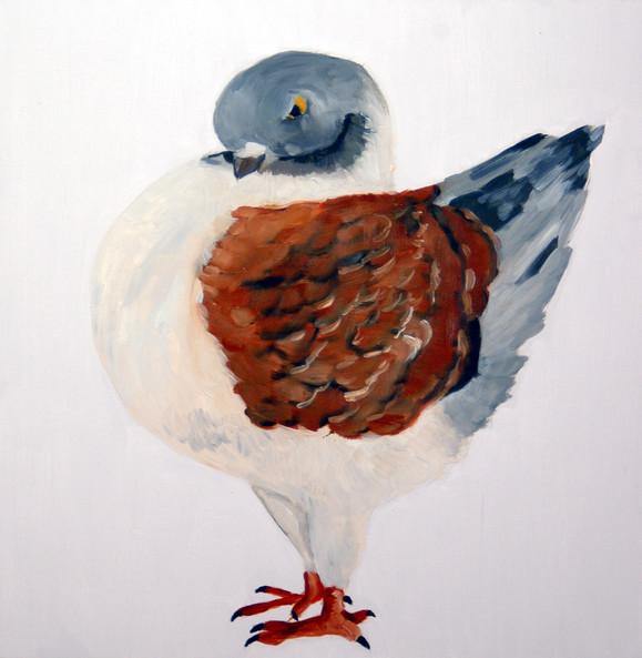 Fancy Pigeon - Modena