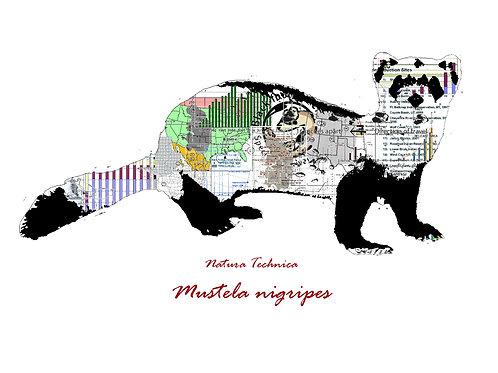 Natura Technica - Black footed ferret