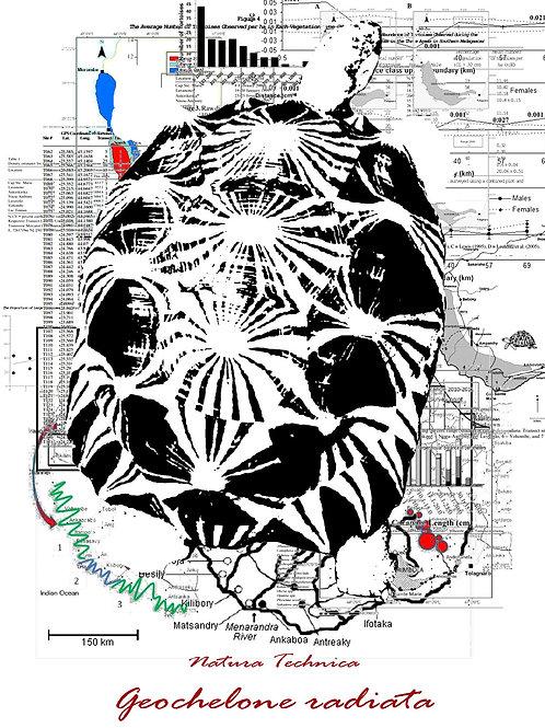 Natura Technica - Radiated tortoise