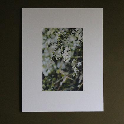 'Blackthorn' Blossom'