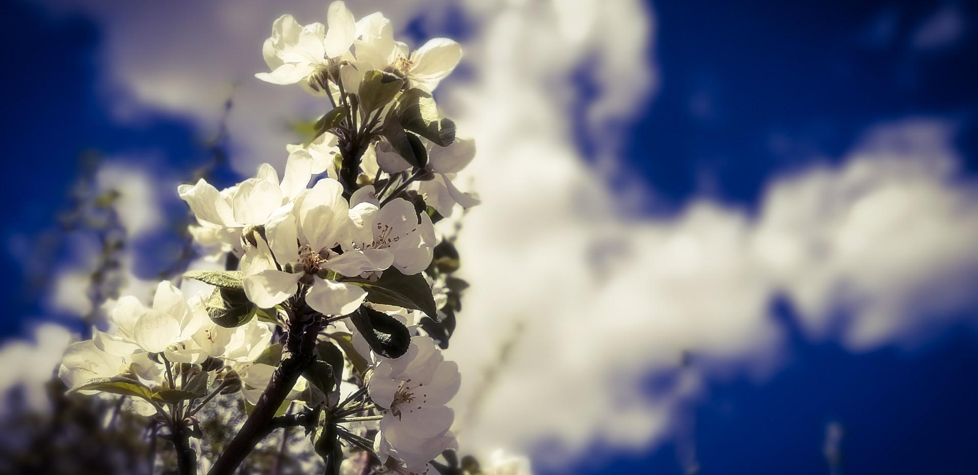 """Blossoms"" 1"
