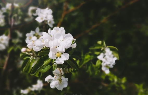 """Blossoms"" 2"