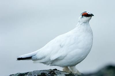 Habita en las partes altas de las principalescadenas montañosas. Generalmente, mide entre 34 y 36cm de largo, de los cuales 8cm corresponden a la cola, compuesta por 16plumas timoneras, y tiene una envergadura alar entre 54 y 60cm3.