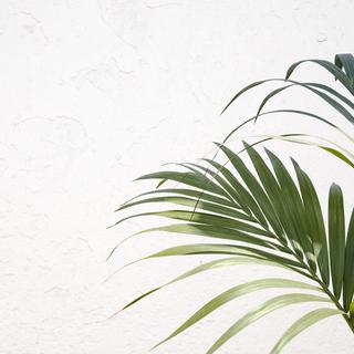 Kentia, la planta decorativa que atrau totes les mirades