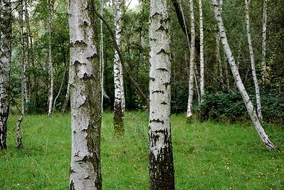 Es un árbol de la familia de las betuláceas.Necesita zonas soleadas y suelos ácidos que contengan silicio y que posean suficiente humedad.Tieneun crecimiento muy rápido y no suelepasar de la edad de un siglo.