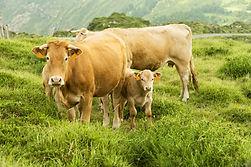 Vaca Bruna. Tiene mucha importancia en laganaderíadel país. Tanto quela bandera andorrana contiene dos vacas comosímbolorepresentativo.
