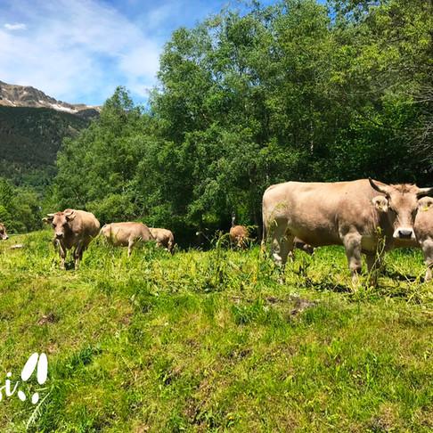 La vaca bruna domina les valls andorranes