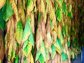 La manufactura del tabaco, una producción llena de tradición y de gran peso económico