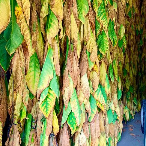 La manufactura del tabac, una producció plena de tradició i de gran pes econòmic