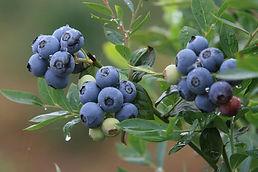 Se encuentran en distintas zonas de Andorrayseusanparaamenizarmuchos platosdelagastronomíaandorrana.
