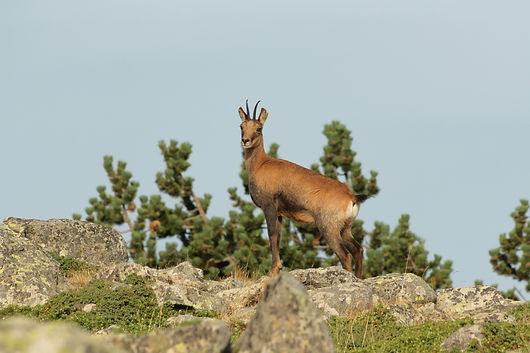 Es un símbolo de la fauna de Andorra. Vive en la alta montaña, come hierba y brotes tiernos de los arbustos y se caracteriza por tener unas patas fuertes y unas pezuñas duras que le permiten trepar por sitios inimaginables. Es un animal muy ágil y tiene una vista, oído y olfato excelentes. Además, dispone de dos cuernos pequeños y delgados y una cola corta. Sise encuentra a gusto en su hábitat, suele tener una cría y (muy raramente), dos. La época de cría suele ser entre mayo y principios de junio. Se considera que un rebeco ya es adulto cuando supera los dos años y medio de vida.