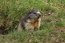 Este animalito se encuentra en las montañas altas del país ysorprende con los sonidos que utiliza para comunicarse con otras de su especie.