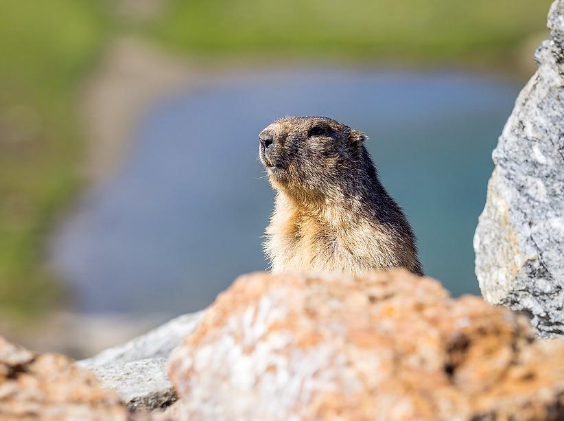 Una marmota en las montañas y valles de andorra