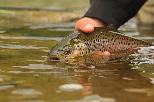 Tradicionalmente, este pescado siempre ha formado parte de la alimentación de la gente de los Pirineos, y, por su proximidad, de Andorra. Hoy día, la mayor parte de estos salmónidos provienen de piscifactoríasa causa de la regresión de la especie por la desaparición de parte de su hábitat. Apesar de eso, aún podemos ver algunos ejemplares en parte de los ríos quepasan por Andorra y, en algunas ocasiones, se puede llegar a pescar. De hecho,en los últimos años se está produciendo un esfuerzo para recuperarla.