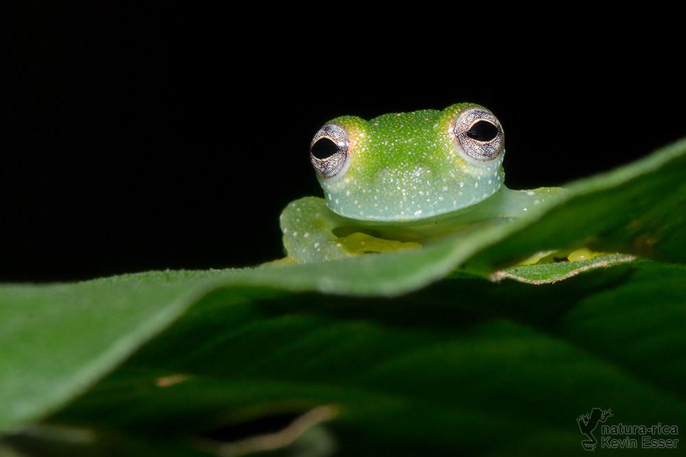 Teratohyla pulverata - Powdered Glass Frog