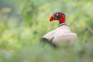 Sarcoramphus papa - King Vulture