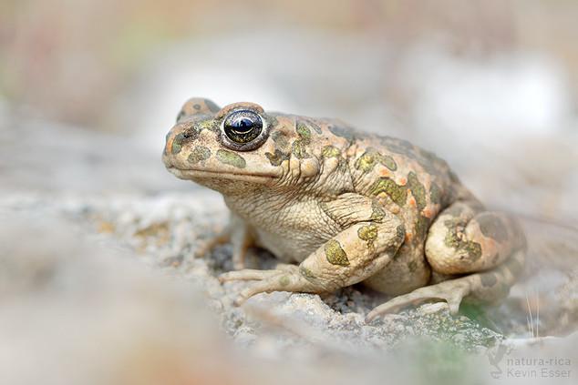 Bufo viridis - Wechselkröte