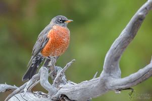 Turdus migratorius - American Robin