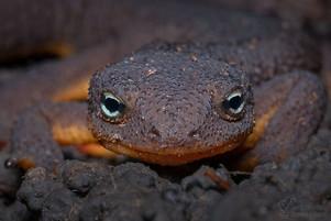 Taricha granulosa - Rough-skinned Newt