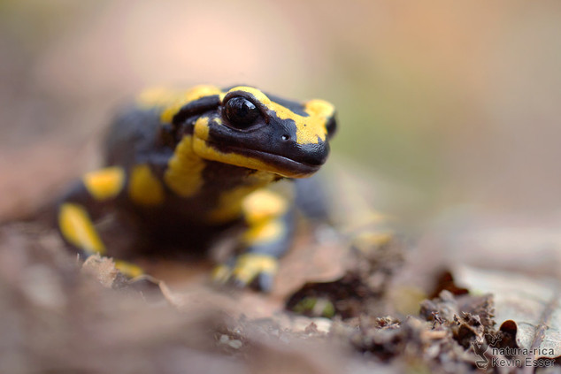 Salamandra s. terrestris - Barred Fire Salamander