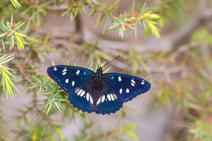 Limenitis reducta - Southern White Admiral