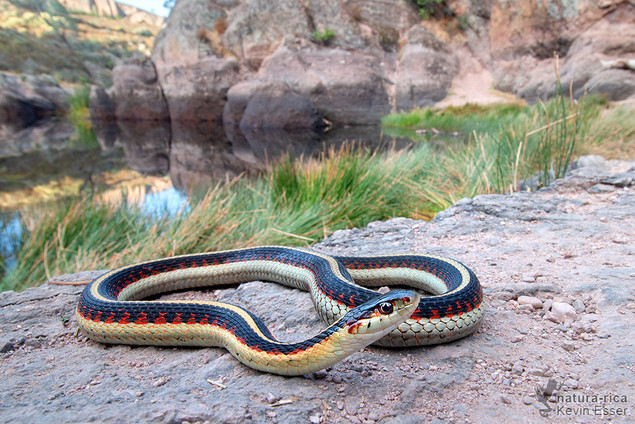 Thamnophis sirtalis fitchi - Valley Gartersnake