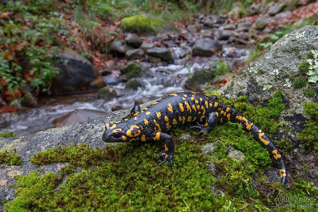 Salamandra s. crespoi - Fire Salamander