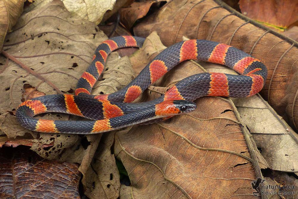 Oxyrhopus petolarius - Forest Flame Snake