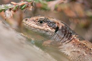 Zootoca vivipara - Viviparous Lizard