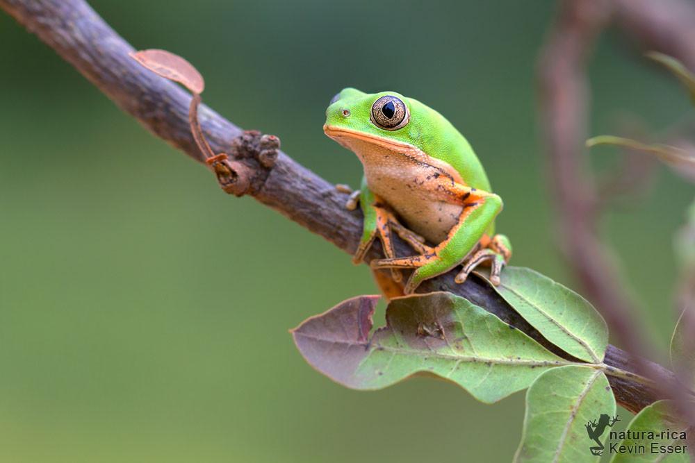 Phyllomedusa azurea - Orange-legged Monkey Frog