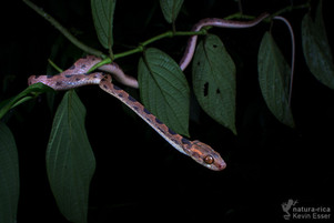 Leptodeira septentrionalis