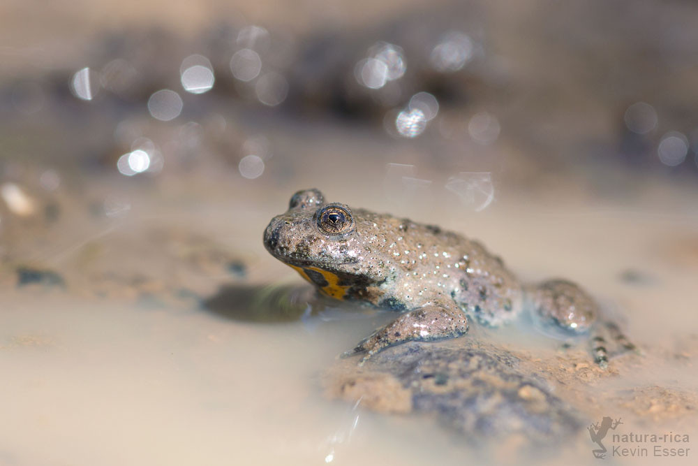 Bombina  variegata - Yellow-bellied Toad