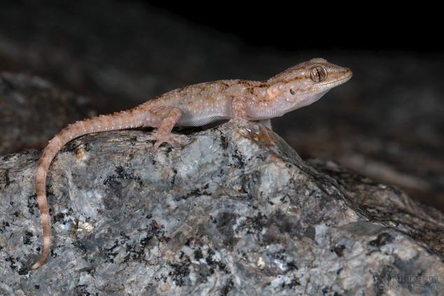 Tarentola mauritanica - Moorish Gecko