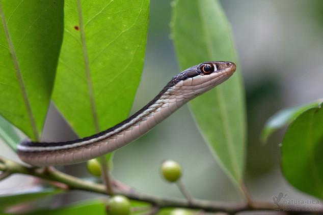 Thamnophis sauritus sackenii - Eastern Ribbon Snake