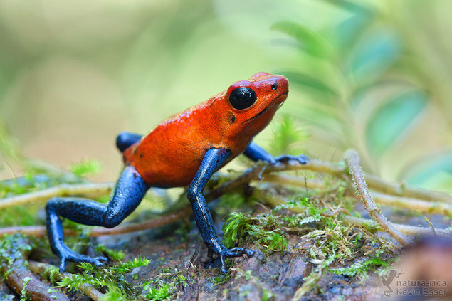 Oophaga pumilio - Strawberry Poison Frog