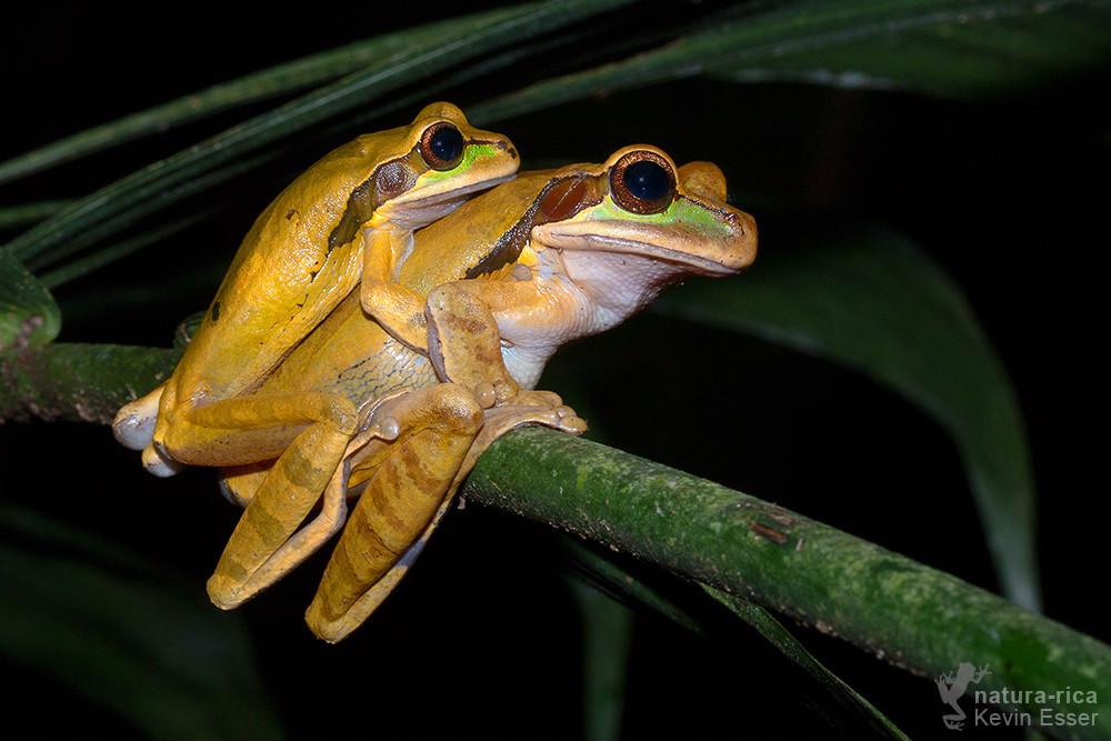 Smilisca phaeota - Masked Tree Frogs