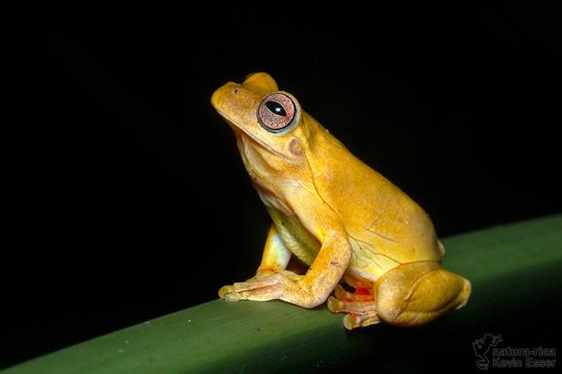 Tlalocohyla loquax - Mahogany Tree Frog