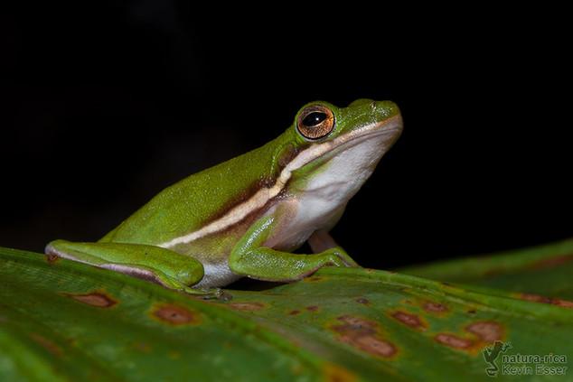 Hyla cinerea - American Green Tree Frog
