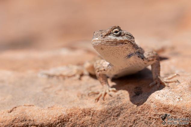 Sceloporus tristichus - Plateau Fence Lizard