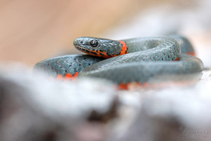 Diadophis punctatus amabilis - Pacific Ring-necked Snake