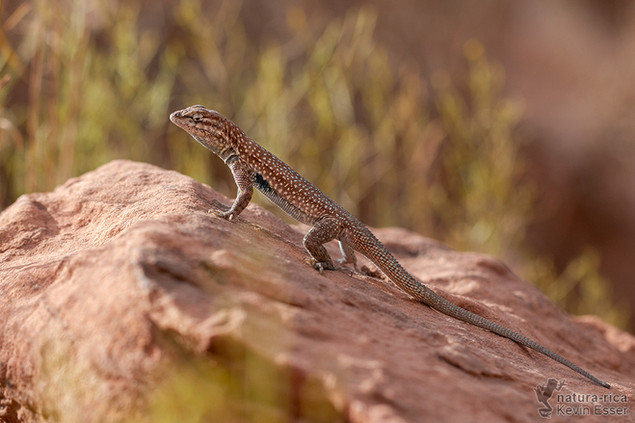 Uta stansburiana - Common Side-blotched Lizard