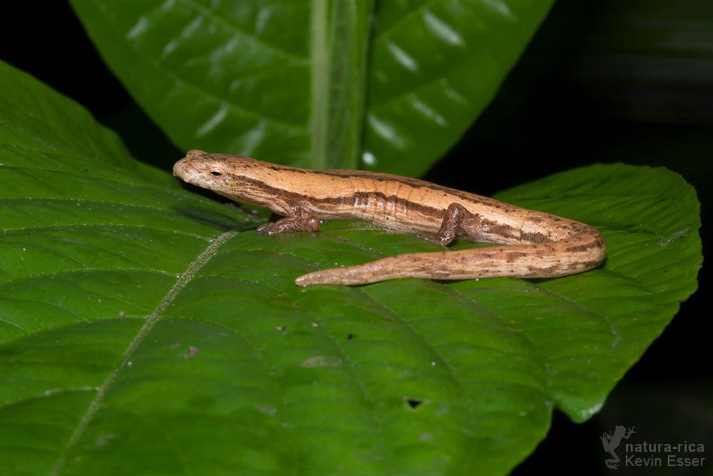Bolitoglossa striatula - Striated Webfoot Salamander