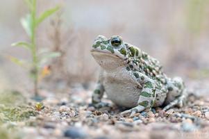 Bufo viridis - European Green Toad