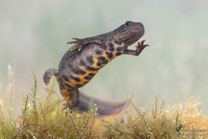 Triturus carnifex - Alpen-Kammmolch ♀