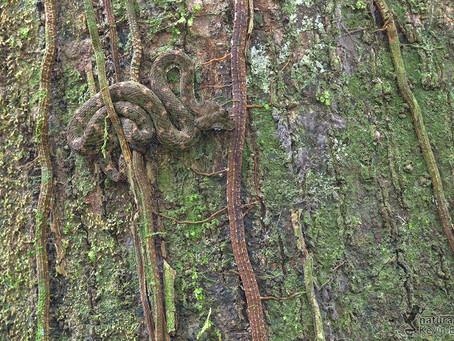 Camouflage Viper