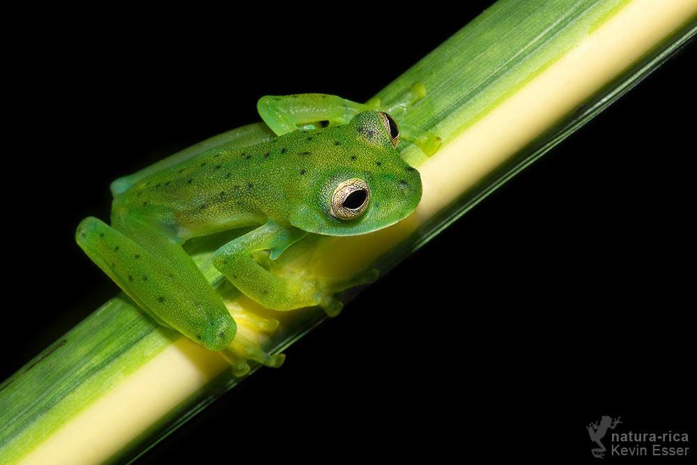 Espadarana prosoblepon - Emerald Glass Frog