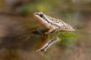 Pseudacris maculata - Boreal Chorus Frog